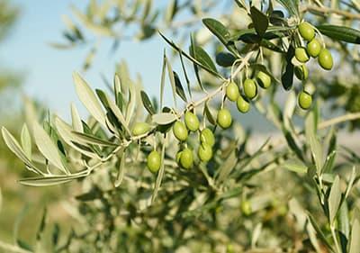 Olive Mills in Liguria