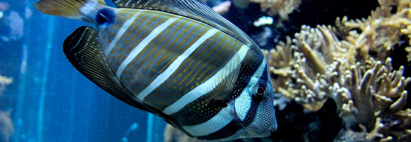 Un beau poisson dans l'aquarium de Gênes