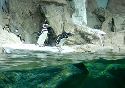 Penguins in Aquarium de Gênes en Ligurie