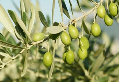 Olives vertes de Taggiasca olivier