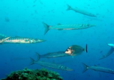 Les poissons nagent sous l'eau en Ligurie