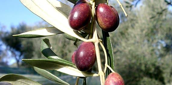 Olives de Taggiasca en Ligurie