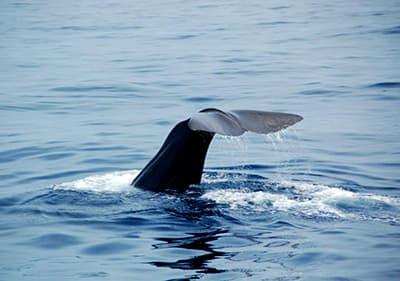 Belle baleine à partir d'une observation des baleines excursion en Ligurie