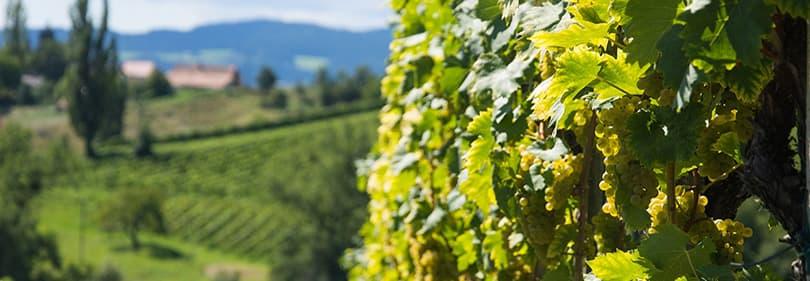 Les viticulteurs en Ligurie