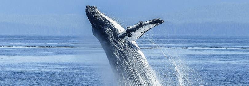 Baleine à partir d'une observation des baleines excursion en Ligurie