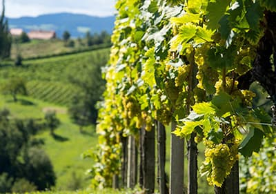 Viticulteurs en Ligurie