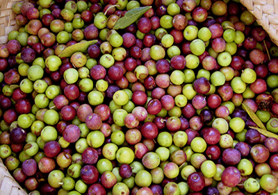 les olives récoltées en Ligurie