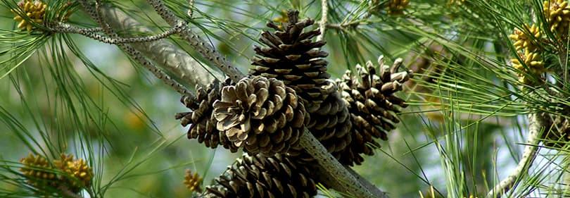 Pine tree in Liguria