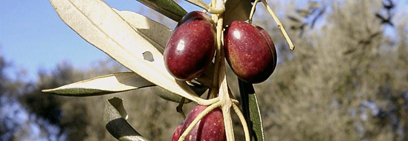 les olives Taggiasca sont prêts à être cueillis