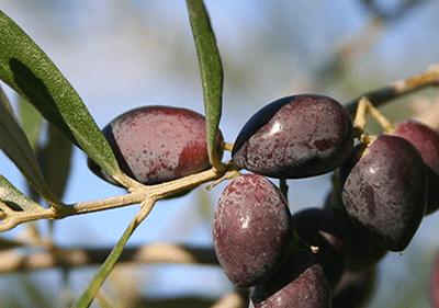 Taggiasca Olives en Ligurie