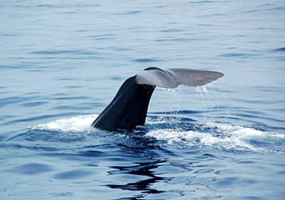 Baleine en Ligurie